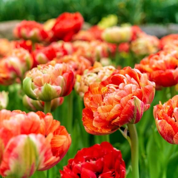 COLORBLENDS- Moris Gudanov Tulip