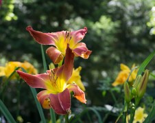 Bi-color Daylily