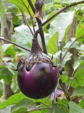 Eggplant in the gardens of Villa Maria