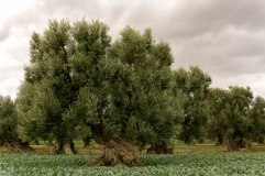 1000 year old Olive trees