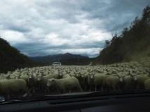 sheep, sheep, sheep.