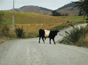 """Meeting a """"Oreo-Cow"""" on the way to the Nugget Point"""