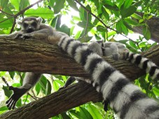 Lemurs in the Fragile Forest