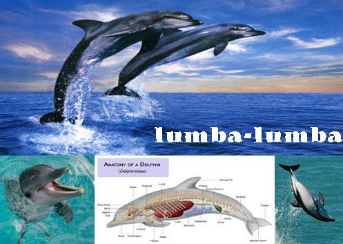 lumba-lumba atau dolphin