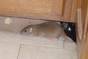 cara mengusir tikus rumah