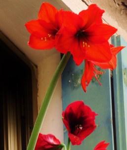 Red lilies flowerpot window vencie