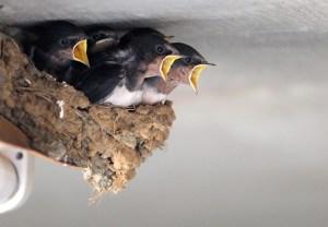 hungrige-schwalben