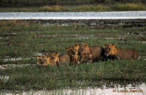 Lions in Chobe National Park.