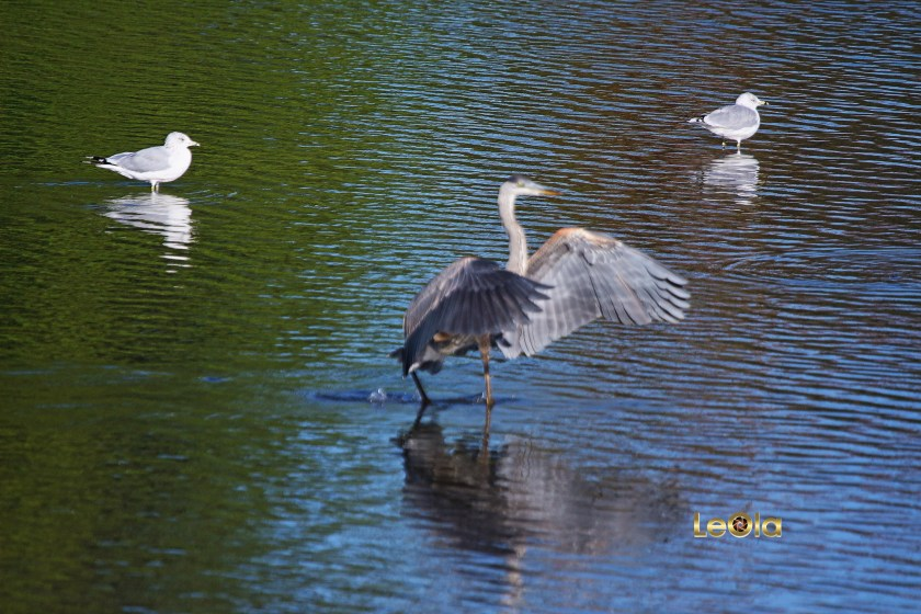 img_0224-blue-heron-copy
