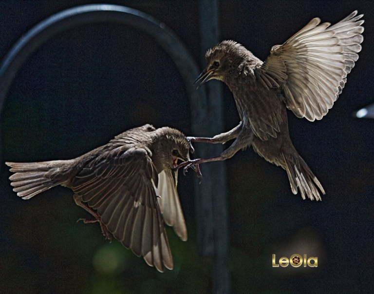 img_5335-baby-starlingsa-copy