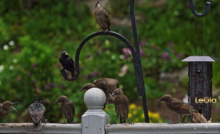img_6942-starlings-copy