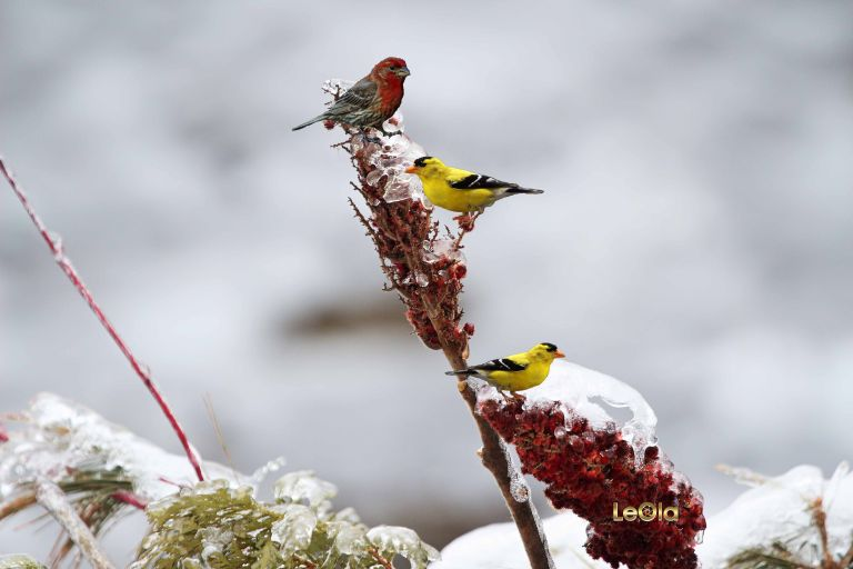 Finches copy