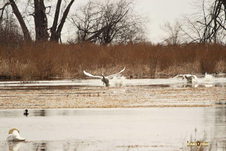 IMG_9300 Swans copy.jpg