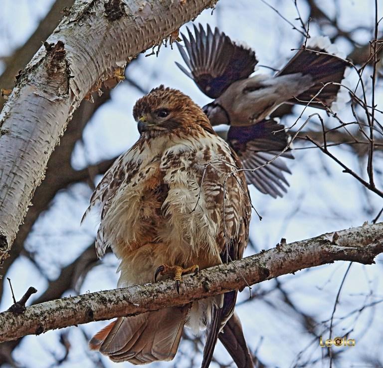 IMG_1424 Hawk & Blue Jay copy