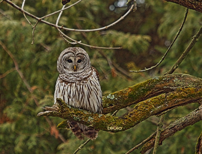IMG_3832 Barred Owl copy.jpg
