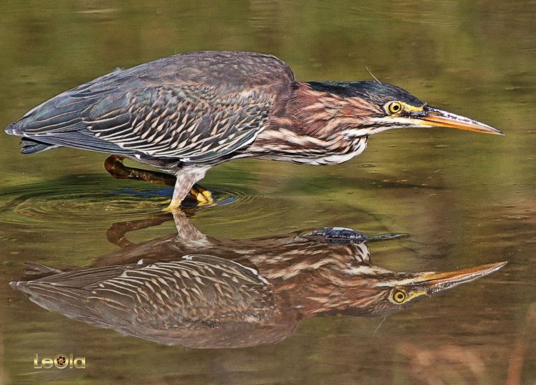 IMG_4313 Green Heron a copy
