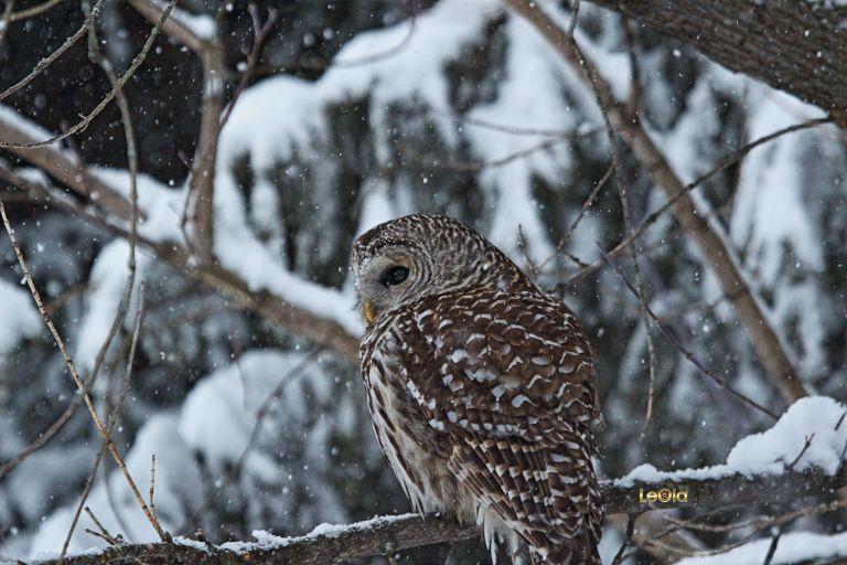 IMG_5039 Barred Owl copy.jpg
