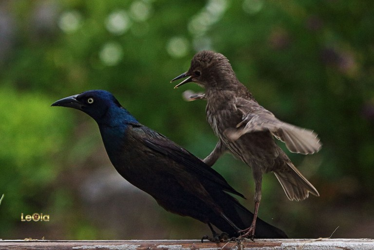 IMG_6753 Young Starling fights Gracklea copy.jpg