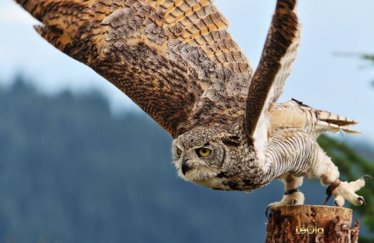 IMG_7543 Great Horned Owla copy.jpg