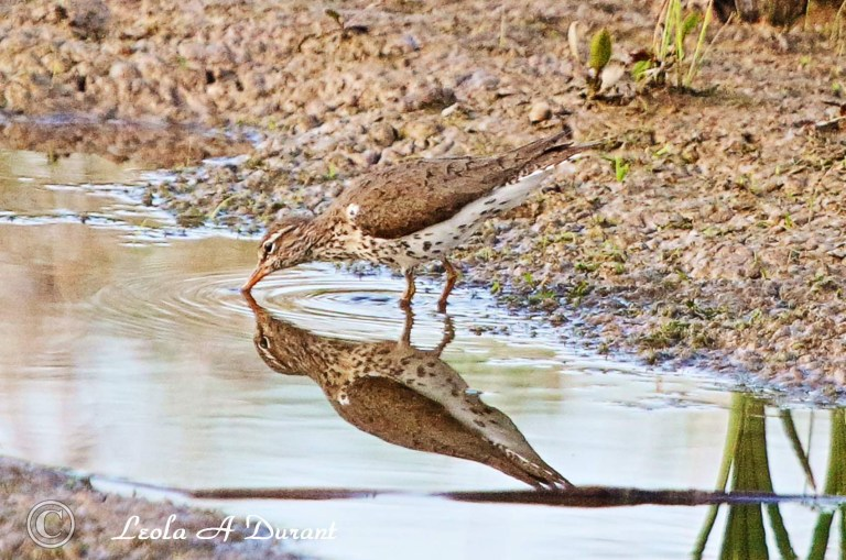 2 Spotted Sandpipers.jpeg