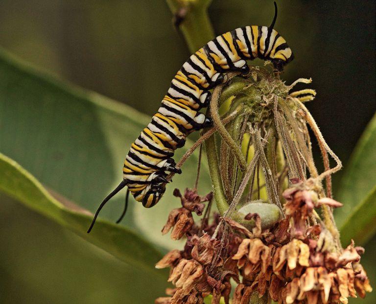 IMG_0369 Caterpillar