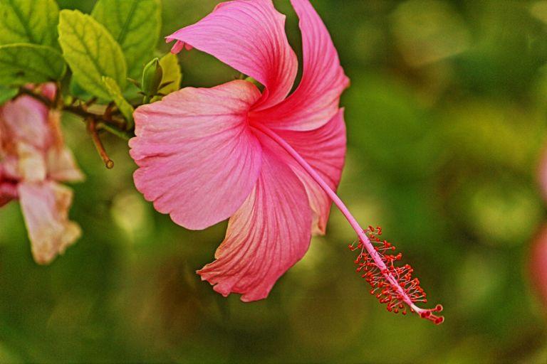 IMG_0954 Hibiscus in Jamaica.JPG