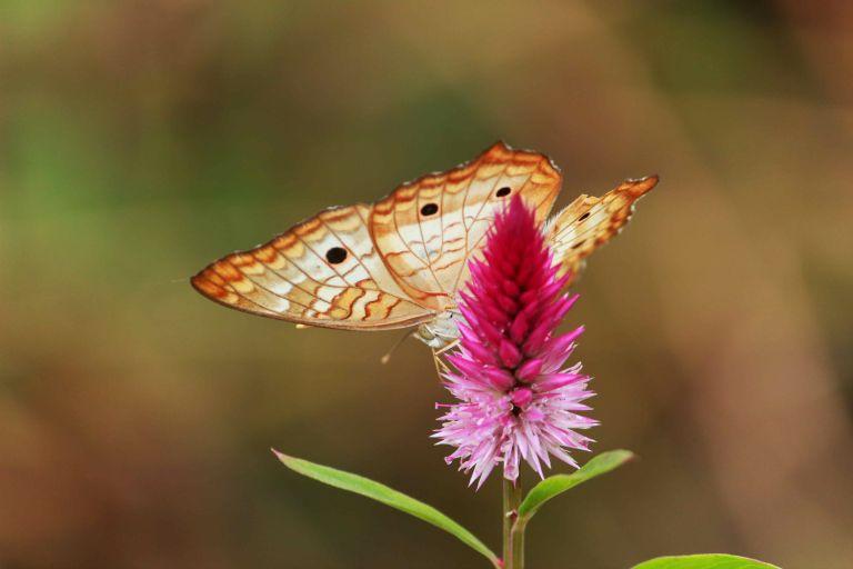 Earth butterfly.JPG