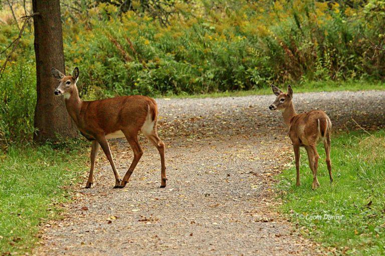 IMG_6055 Deer copy.jpg