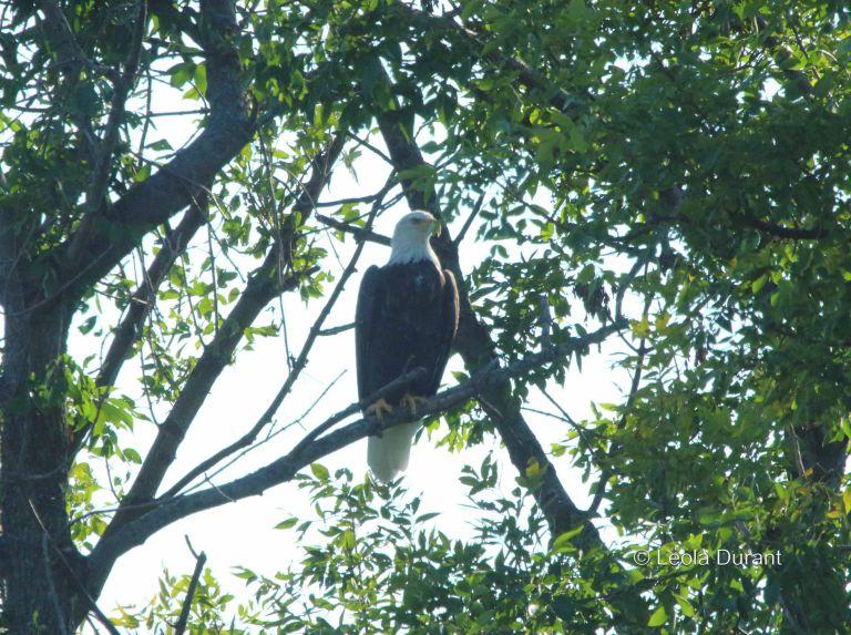IMG_8225a birthday eagle copy