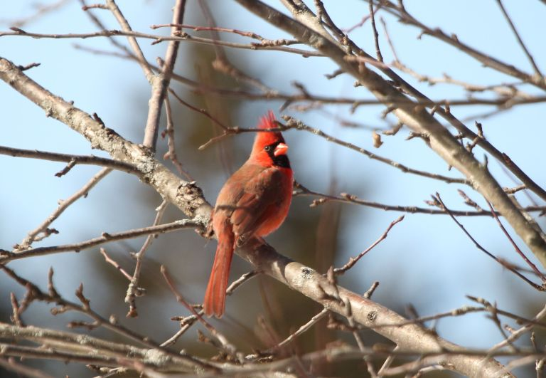 R Cardinal.JPG