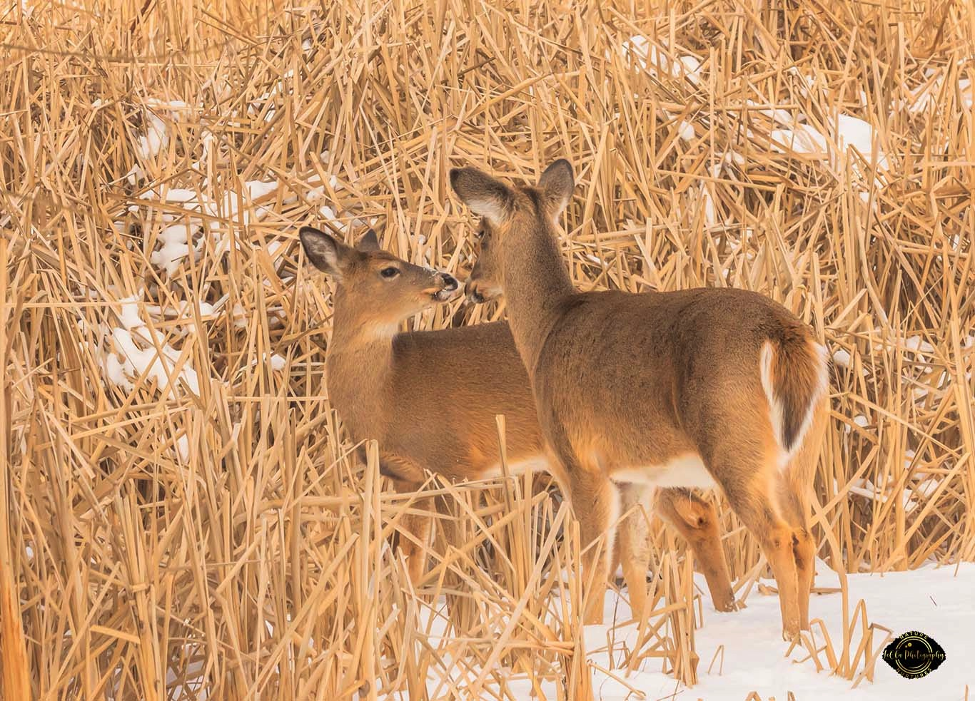 Fawn kisses doe as they share a peaceful moment