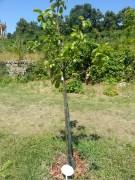 Drzewko owocowe na wzgórzu Klausberg