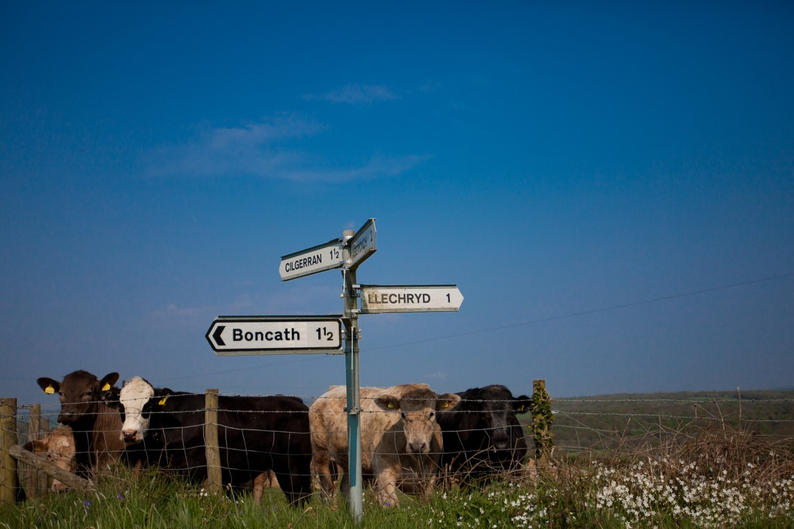 Cows and welsh road signs. By Leonie Wise