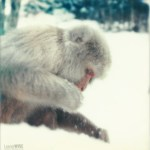 polaroid photograph of a japanese macaque (snow monkey) in yamanouchi. copyright leonie wise. all rights reserved