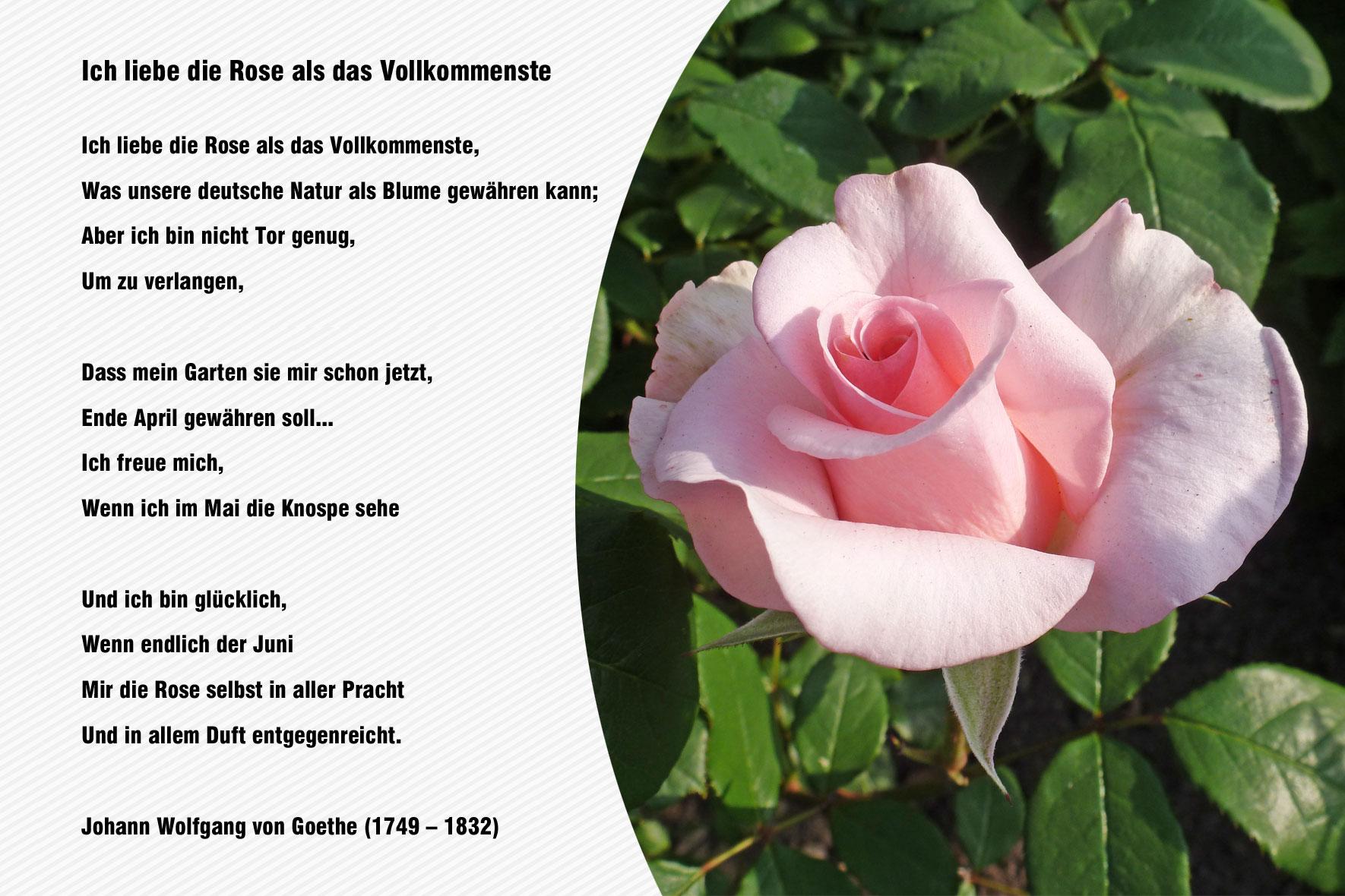 Gedicht Rose Kurz Marie Nizharadze