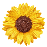 Sonnenblume 4