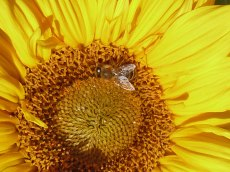 Sonnenblume 9