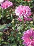 Chrysanthemen 11