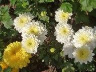 Chrysanthemen 14