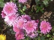 Chrysanthemen 5
