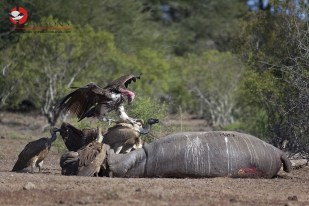 Signs of the drought: Cape, Lappet-faced and White-backed Vultures feeding on a Hippo