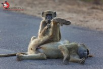 Baboons allogrooming as they end off their day.
