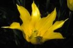 Tulip at FBG