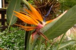 The pretty Strelitzia or crane flower, indigenous to South Africa.