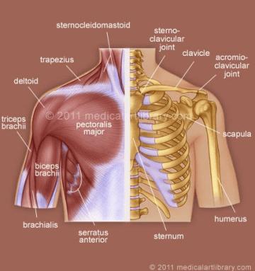 The Shoulder Girdle - Anterior
