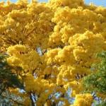ipe-amarelo-flores