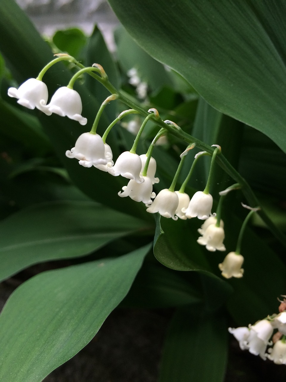 Comment Planter Du Muguet la tradition du muguet au 1er mai : pourquoi s'en offre t-on ?