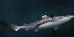 Requin pointes noires (Carcharhinus melanopterus)