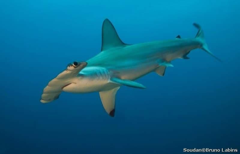 Requin marteau halicorne (Shyrna lewini)