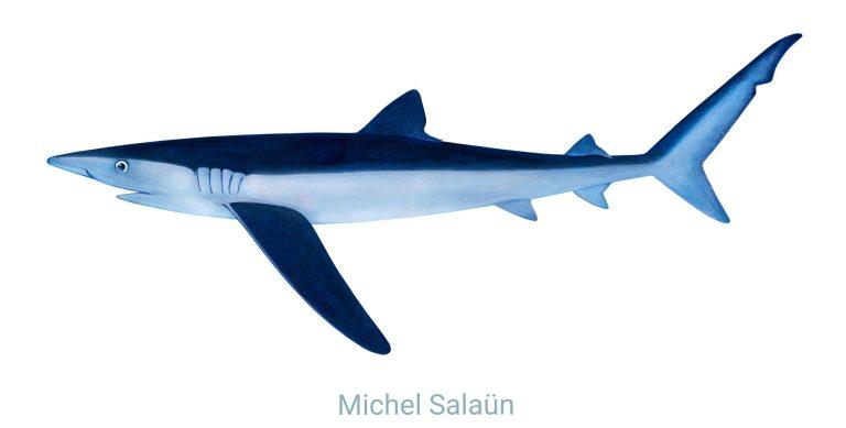Représentation d'un requin peau bleue (Prionace glauca) Crédit : Michel Salaün